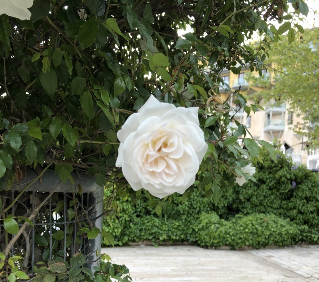 Rose blooming in Jerusalem